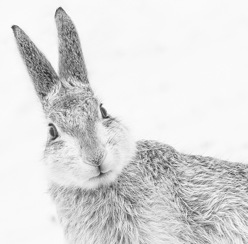 Gillian Lloyd, Mountain Hare, BWPA 2015 Competition