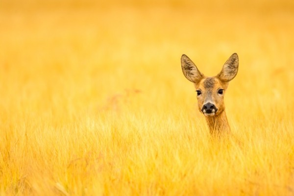 Julian Cox, Fields of Gold, BWPA 2105 Competition