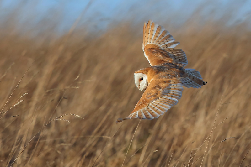 Mark Hughes, Graceful Barn Owl, BWPA 2015 Competition