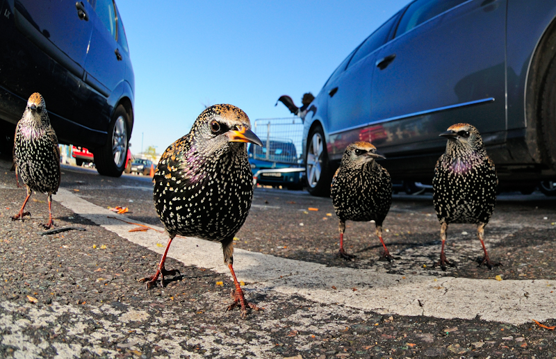 Tomos Brangwyn, London Starling Gang, BWPA 2015 Competition